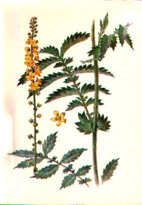 Травянистое растение семейства